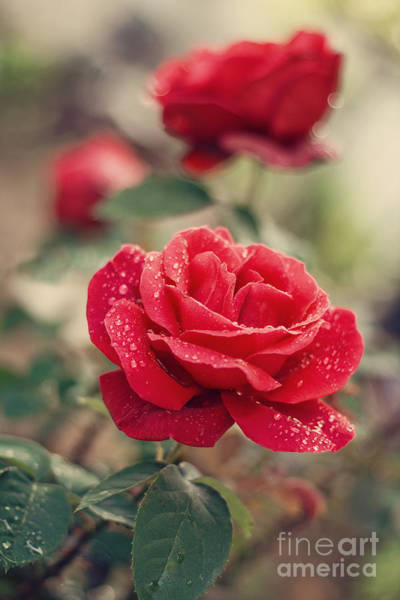 Red Flower Photograph - Red Rose After Rain by Diana Kraleva