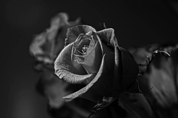 Raley Field Wall Art - Photograph - Red Rose Black And White by Steve Raley