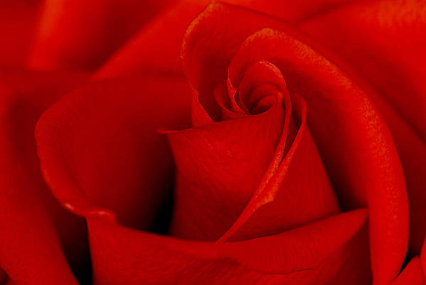 Photograph - Red Rose by Carol Erikson