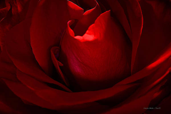 Photograph - Red Rose by Charles Muhle