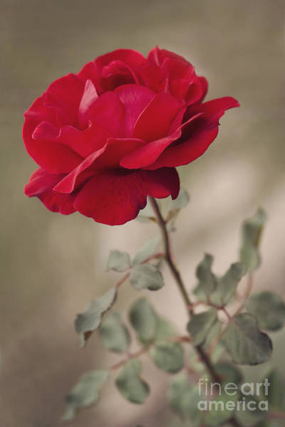Red Roses Photograph - Red Rose by Diana Kraleva