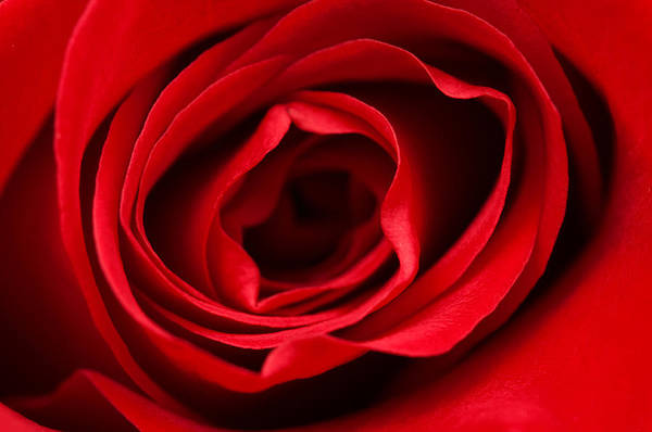 Photograph - Red Rose  by Fabrizio Troiani
