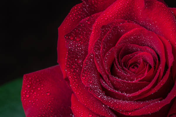 Photograph - Red Rose  by Garvin Hunter