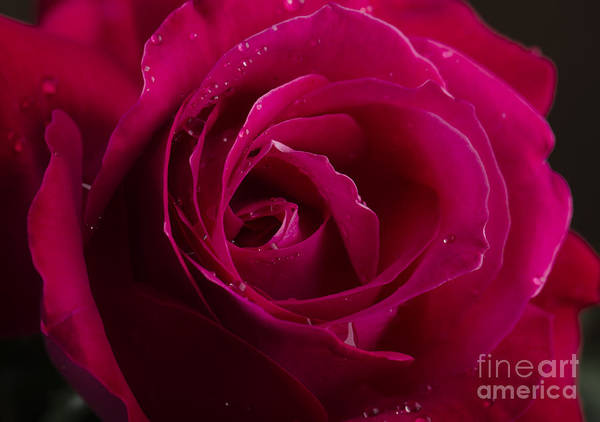 Pure Love Wall Art - Photograph - Red Rose by Jelena Jovanovic