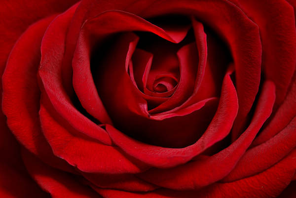 Photograph - Red Rose by Loree Johnson