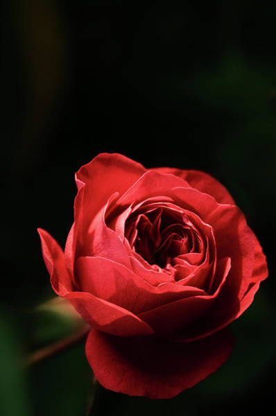 Hybrid Rose Photograph - Red Rose (rosa Hybrid) by Maria Mosolova/science Photo Library