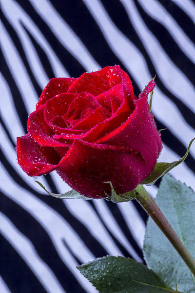 Fall Flowers Photograph - Red Rose With Stripes by Garry Gay