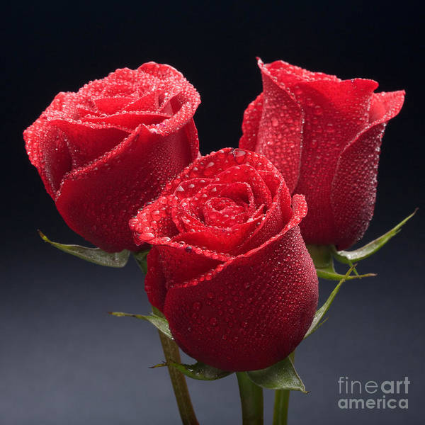 Photograph - Red Roses by Wolfgang Herath