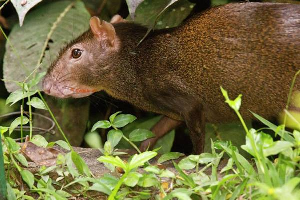 Wall Art - Photograph - Red-rumped Agouti Foraging by Bob Gibbons