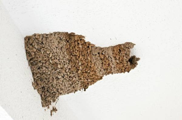 Mud House Photograph - Red-rumped Swallow Nest On A House by Bob Gibbons