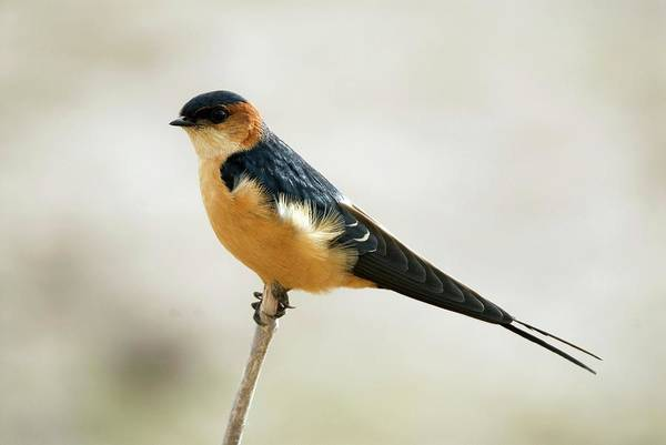 Swallow Photograph - Red-rumped Swallow by Peter Chadwick/science Photo Library