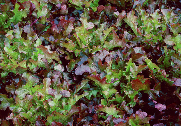 Salad Photograph - Red Salad Bowl Lettuce by Anthony Cooper/science Photo Library
