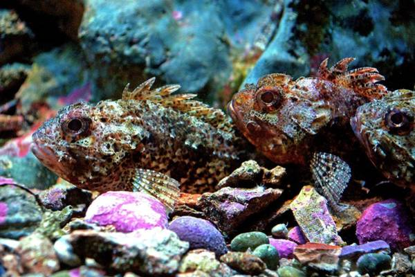 Scorpion Wall Art - Photograph - Red Scorpion Fish by Brian Gadsby/science Photo Library