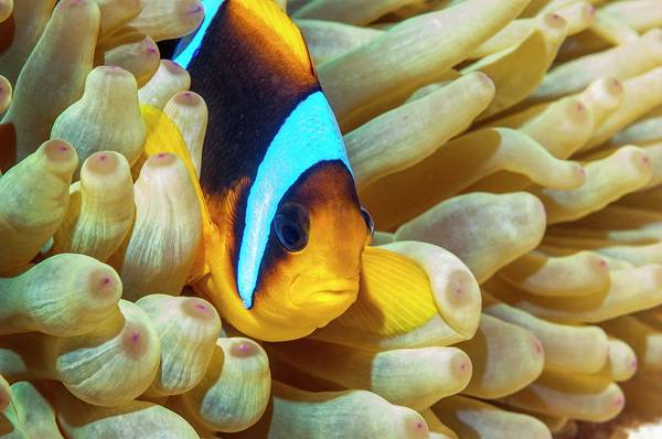 Clownfish Wall Art - Photograph - Red Sea Anemonefish by Georgette Douwma