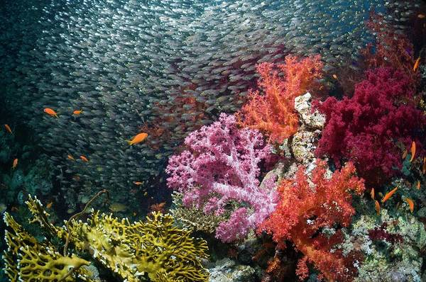 Schooling Fish Wall Art - Photograph - Red Sea Dwarf Sweepers And Soft Coral by Georgette Douwma