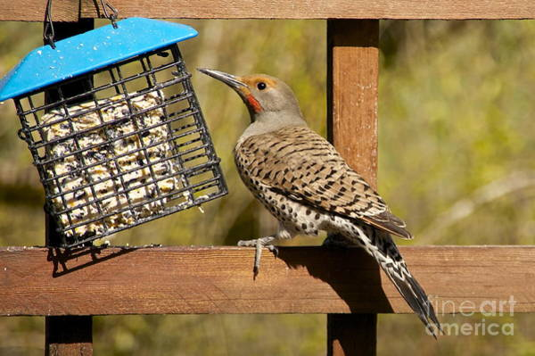 Northern Flicker Photograph - Red-shafted Northern Flicker by Sean Griffin