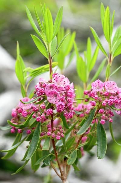 Kalmia Photograph - Red Sheep Laurel (kalmia Angustifolia) by Bob Gibbons/science Photo Library