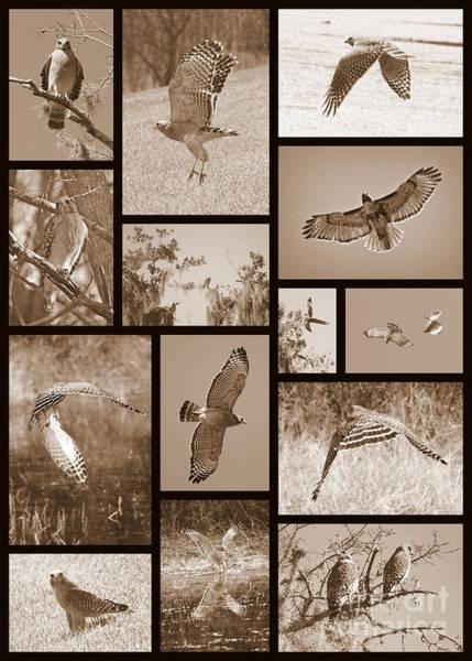 Photograph - Red-shouldered Hawk Collage by Carol Groenen