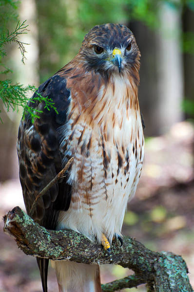 Photograph - Florida Red-shouldered Hawk by Donna Proctor