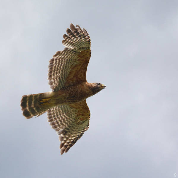 Photograph - Red Shouldered Hawk In Flight - 06.11.2014 by Jai Johnson