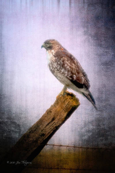Photograph - Red Shouldered Hawk by Jim Thompson