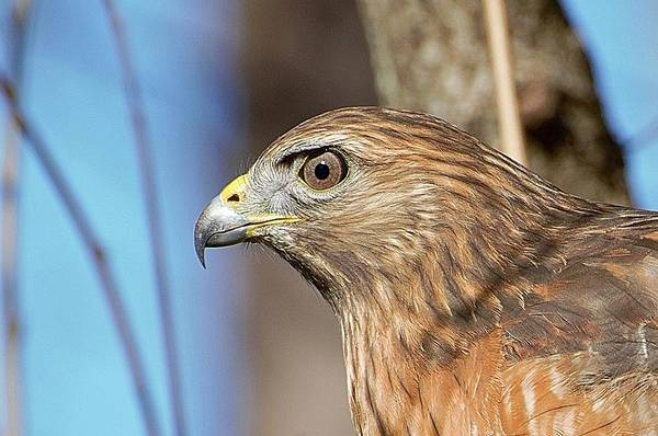 Photograph - Red-shouldered Hawk by Ludwig Keck