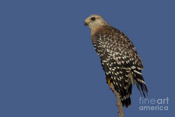 Photograph - Red Shouldered Hawk by Meg Rousher