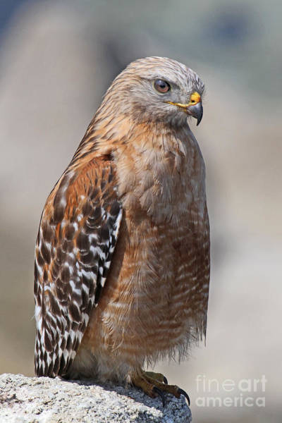 Photograph - Red-shouldered Hawk Near Lovers Point Pacific Grove June 30 2013 by California Views Archives Mr Pat Hathaway Archives