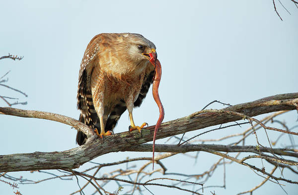 Wall Art - Photograph - Red-shouldered Hawk by Paul E Tessier