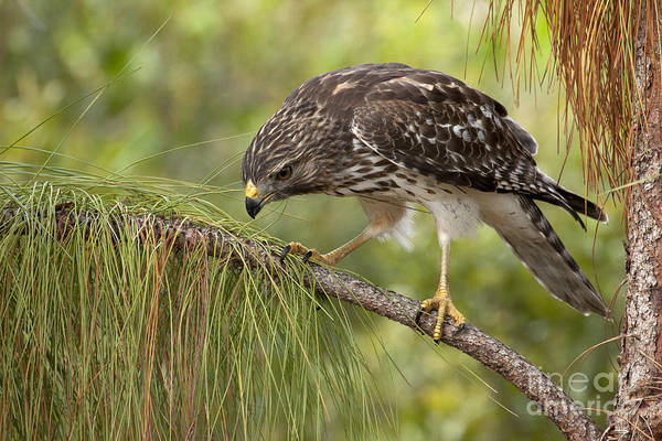 Red Shouldered Hawk Photo Art Print