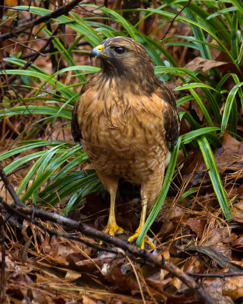 Photograph - Red-shouldered Hawk by Robert L Jackson