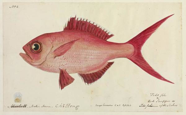 Red Snapper Fish Art Print by Natural History Museum, London/science Photo Library