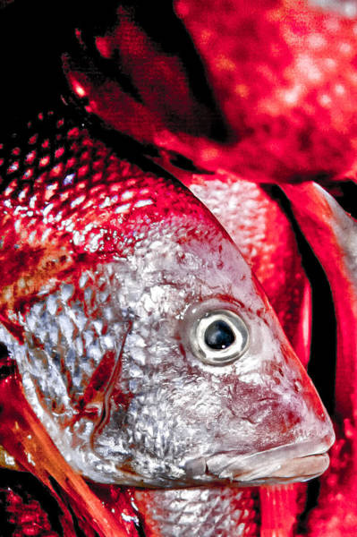 Photograph - Red Snapper by Jim DeLillo