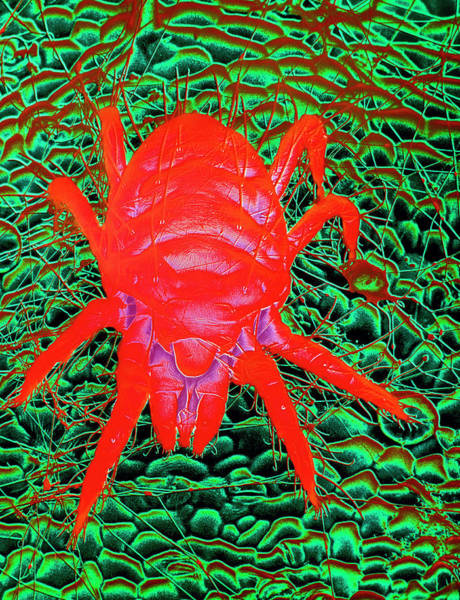 Arachnida Wall Art - Photograph - Red Spider Mite by Dr Jeremy Burgess/science Photo Library