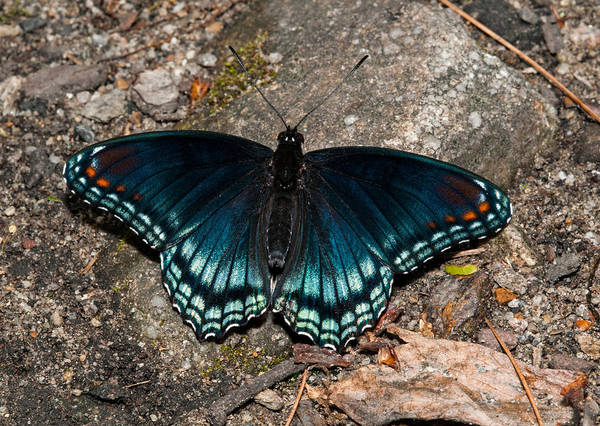 Photograph - Red Spotted Purple Butterfly by Lara Ellis