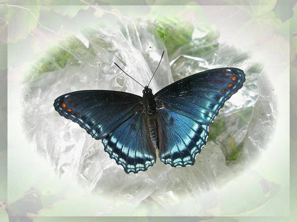 Mother Nature - Red-Spotted Purple Butterfly - Limenitis arthemis