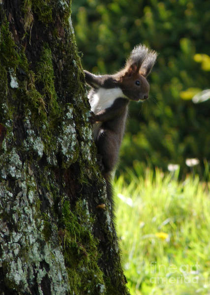 Photograph - Red Squirrel - Austria by Phil Banks