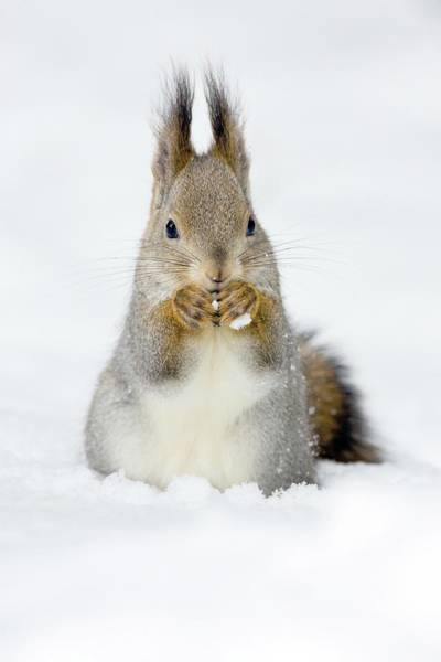 Finnish Photograph - Red Squirrel Eating by John Devries/science Photo Library