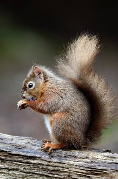 Red Squirrel Wall Art - Photograph - Red Squirrel Grooming by Colin Varndell