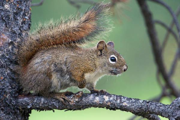Archer Photograph - Red Squirrel by Ken Archer