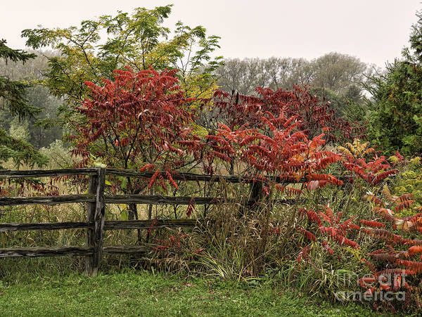 Photograph - Red Sumac Trees In Autumn by Les Palenik