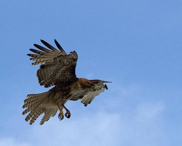 Wingspan Photograph - Red Tail Hawk by Bill Gallagher