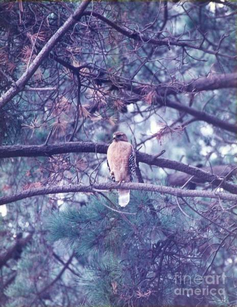 Photograph - Red Tail Hawk by Cynthia Marcopulos