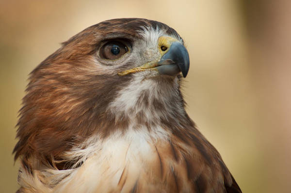 Photograph - Red Tail Hawk by Joye Ardyn Durham