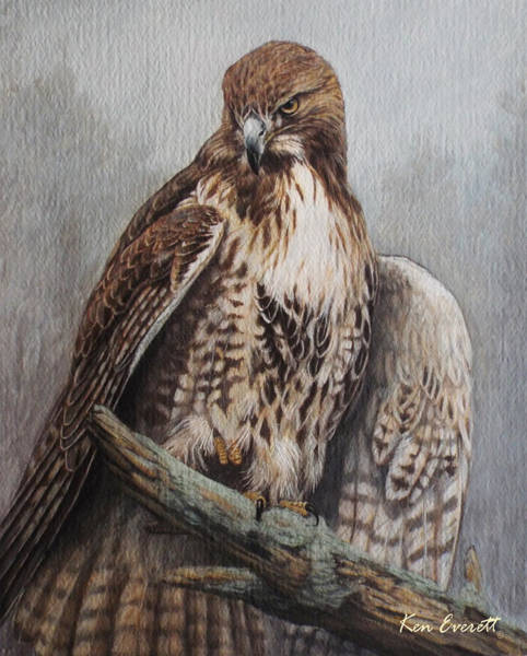 Tails Painting - Red Tail Hawk by Ken Everett