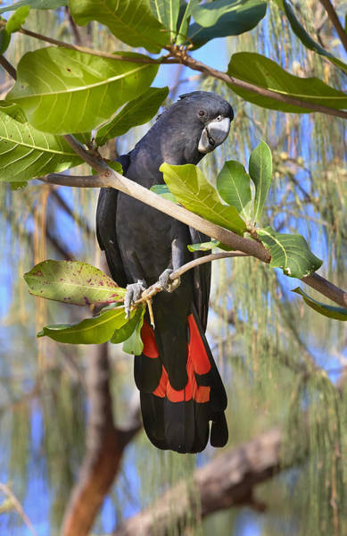 Martin Photograph - Red-tailed Black-cockatoo Queensland by Martin Willis