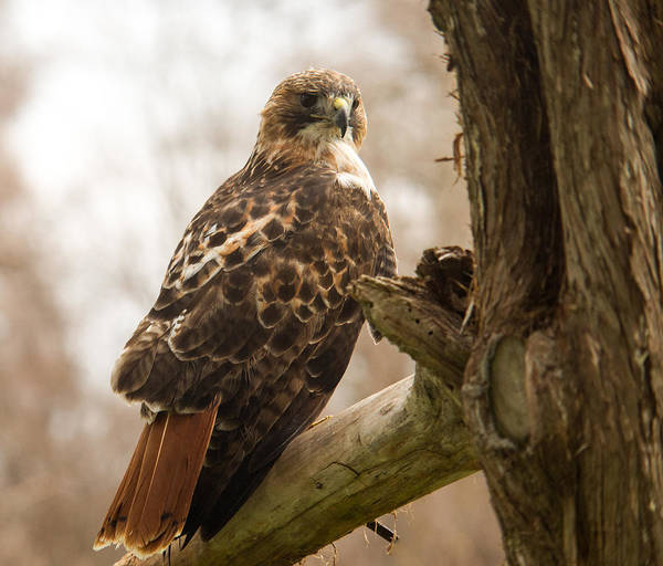 Falconiformes Photograph - Red Tailed Hawk 5 by Douglas Barnett