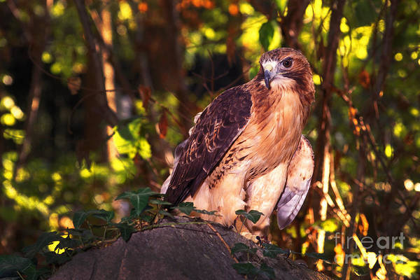 Photograph - Red Tailed Hawk - 54 by Paul W Faust -  Impressions of Light