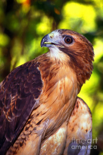 Photograph - Red Tailed Hawk - 66 by Paul W Faust -  Impressions of Light