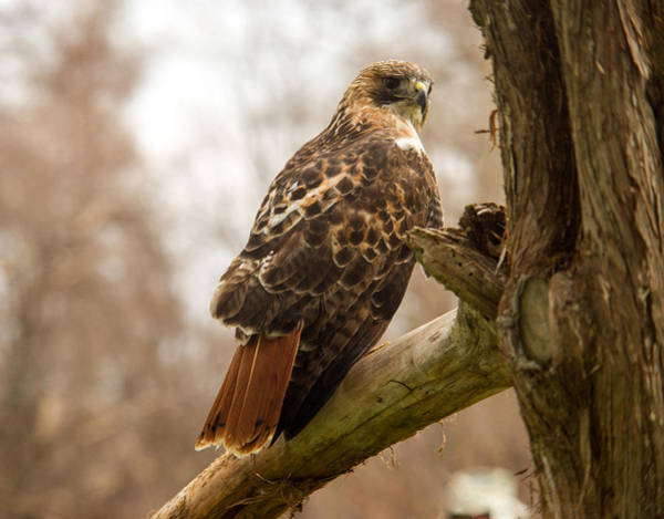 Falconiformes Photograph - Red Tailed Hawk 8 by Douglas Barnett